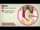мышцы живота и паховый канал