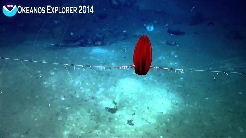 Okeanos Explorer Highlight: Comb Jelly (ctenophore)