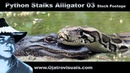 Python Stalks Alligator 03 Stock Footage