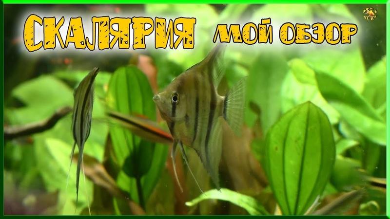скалярии обзор мои наблюдения angelfish