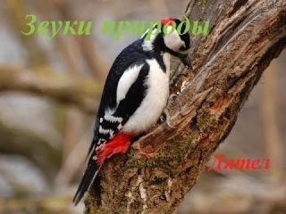 Голоса птиц для детей. Дятел