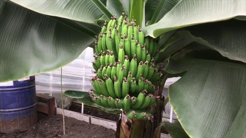 В селе близ Северодонецка выращивают папайю и бананы