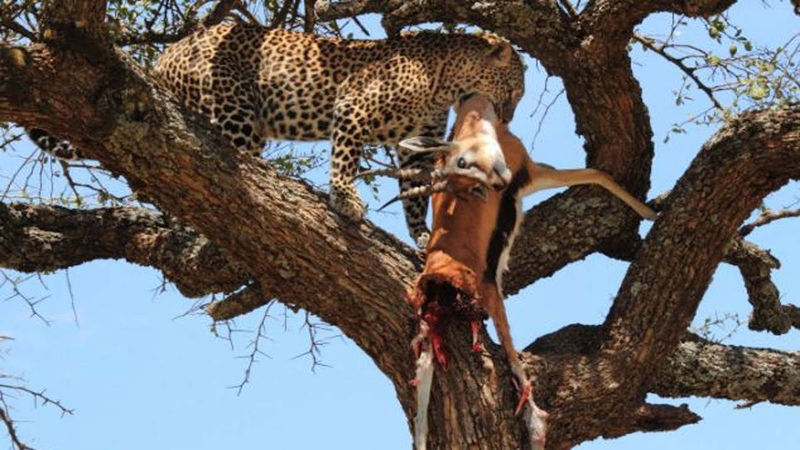 THE TOP 10 || TOP 10 LEOPARDS ATTACK ANIMALS ON THE TREE || Leopard Climbing Up a Tree with Its Prey