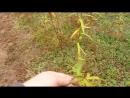 Урожай лозы первого года посадки осень 2018
