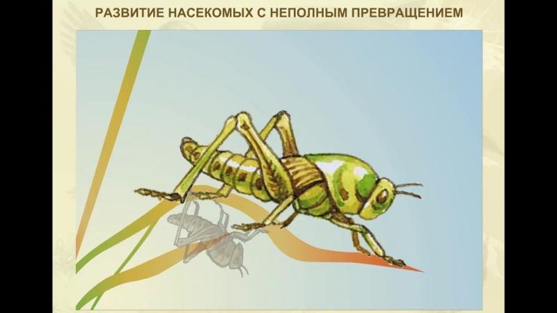 Развитие насекомых с неполным превращением