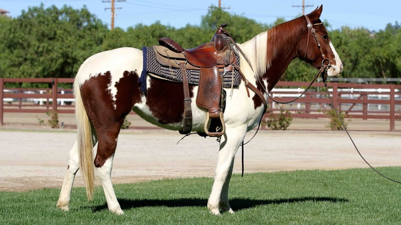 SPRING CHLOE MAY 16 2012 AMERICAN PAINT HORSE ASSOCIATION