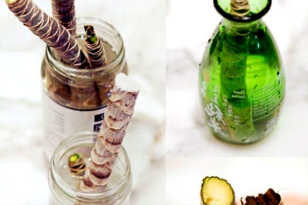 размножение драцены в домашних условиях драцены можно размножать тремя способами:семенамичеренкованием стеблейотводками от верхней частидля справки: семенами можно размножать только зелёные