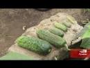 Дачник из Рузаевки собирает изюм с крыжовника и два урожая малины за лето