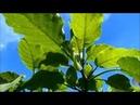 Brugmansia бругмансия осенью цветущие кустарники Gardin Oriental Испания 31 10 2018
