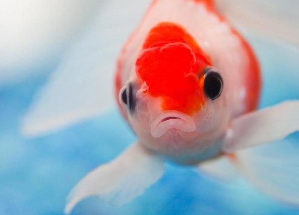 красная рыбка)новый вид.