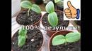 Как вырастить рассаду огурцов за 3 дня.Как посеять огурцы.100% результат при t не ниже 25./1часть/