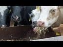 Kein Futter: Bauern müssen ihre Kühe schlachten | Panorama 3 | NDR