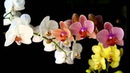 Lacrimas Profundere An Orchid For My Withering Garden Leg Inglês e Português