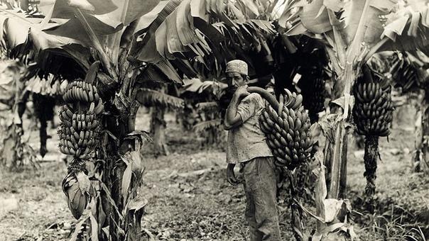 БАНАНОВАЯ РЕЗНЯ В декабре 1928 года в колумбийском городе Сьенага произошли события, известные как «банановая резня». Тысячи работников американской компании экспортёра бананов United Fruit