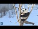 Вот, чем занимаются зимой настоящие кунг-фу панды
