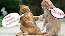 Приколы с котами с ОЗВУЧКОЙ – ДО СЛЁЗ про котов и кошек – Попробуй НЕ засмеяться - Domi Show