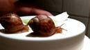 Achatina snail my friend. Улитка Ахатина.