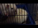 Крысы кушают кукурузные палочки. 😋🐁