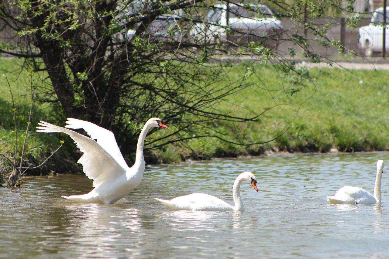 Пятигорск, озеро с лебедями в парке им. Кирова