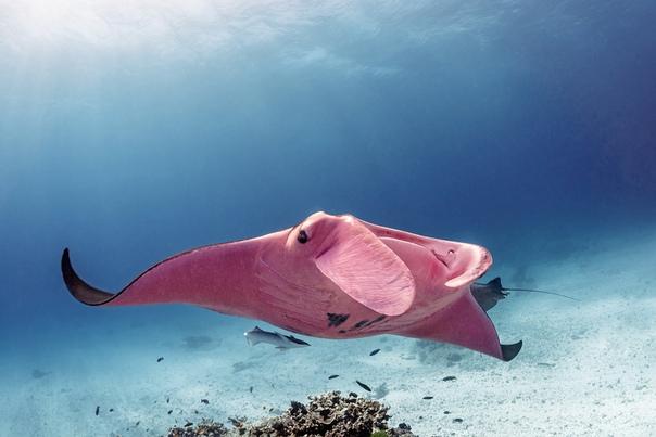 Единственная в своем роде - розовая манта. Австралийский фотограф Кристиан Лэйн недавно познакомился с особым подводным существом: единственным в мире розовой мантой. Её вес около 11 фунтов,