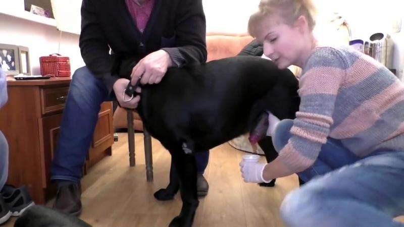 Искусственное оплодотворение собак. Вязка через катетер. Лабрадоры.🔴