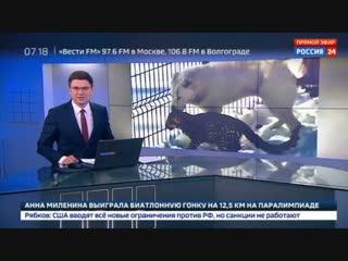 Новости на «Россия 24» • Среднеазиатская овчарка взяла под свою опеку детеныша персидского леопарда