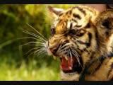 Месяц больших кошек на Nat Geo Wild
