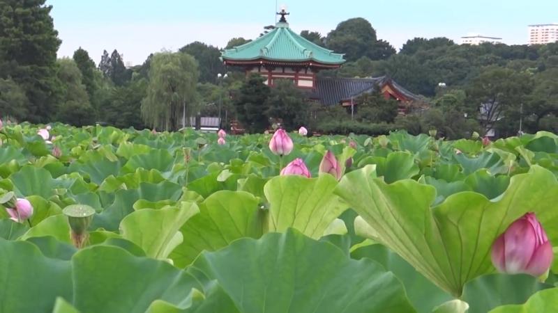 Лотосы парка Уэно Токио Япония