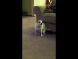My Dog 'Dancing' To Eminem 'Shake That'.mp4