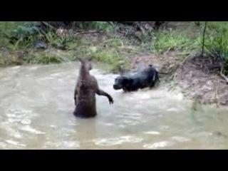Отчаянную схватку снял на камеру житель Австралии - Первый канал