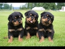 Милые щенкии три брата-акробата