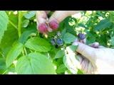 Черная малина кумберленд . Сравнение с обычной малиной и ежевикой Лохтей