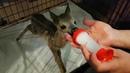 Бэмби научился самостоятельно пить молоко
