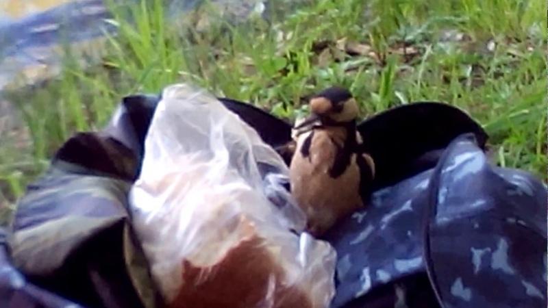 Воришка.Дятел из сумки хлеб ворует для птенцов.