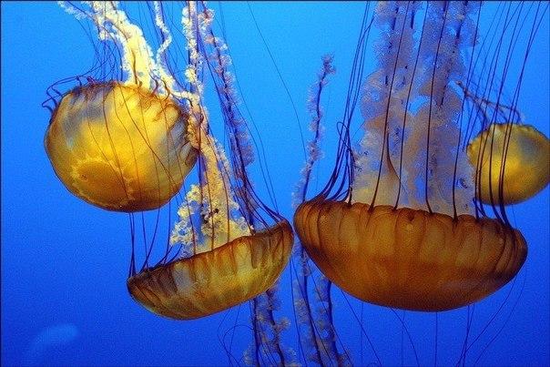 Медузы жили на земле еще до динозавров.