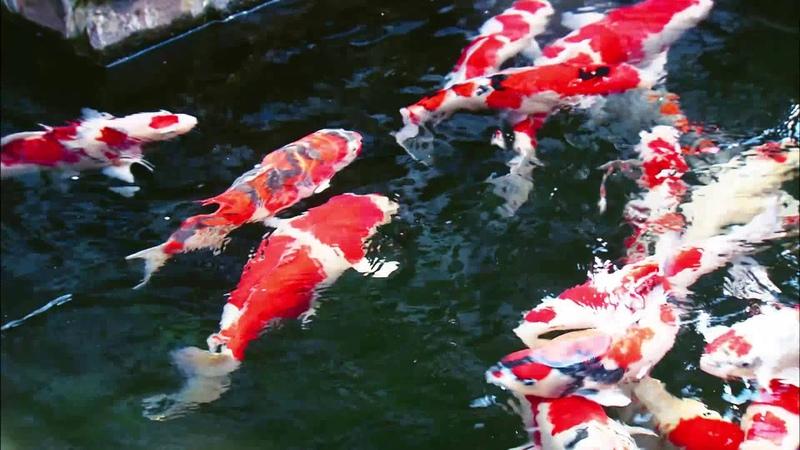日本 新潟县 蜚声海外的锦鲤