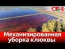 Уборка клюквы промышленным способом – новое красивое видео с воздуха_