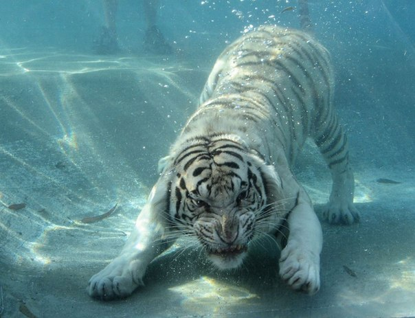 Тигр под водой!
