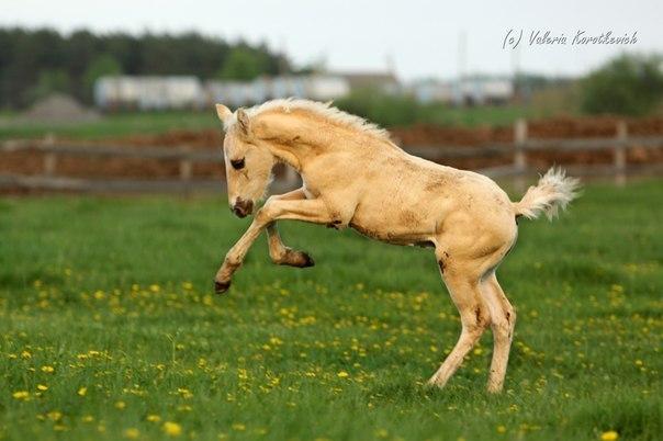 фото соловая лошадь