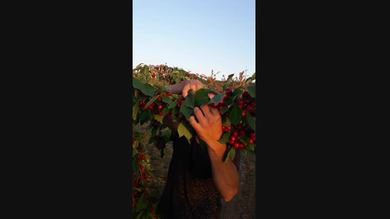 Рекордный урожай крупноплодной черешни