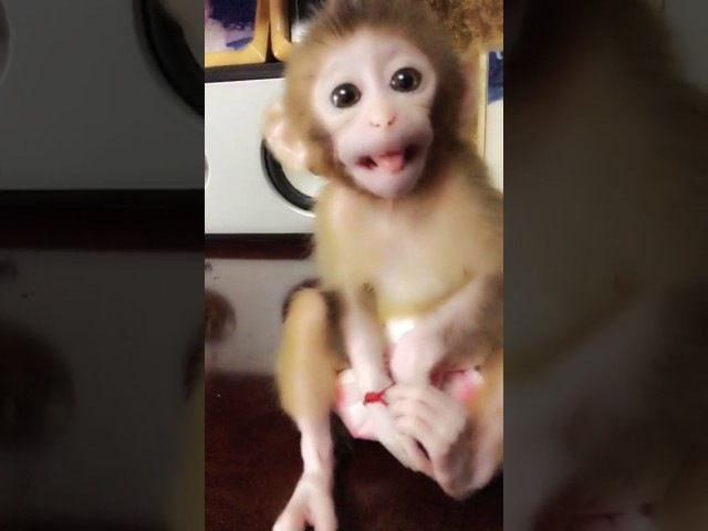 New baby monkey's new life in my home - A long cute animal video