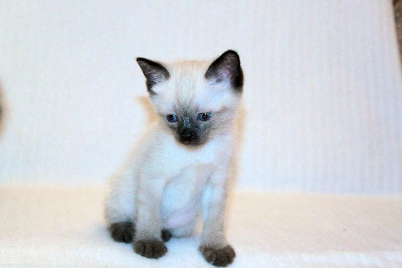 Меконгский бобтейл. Котёнок