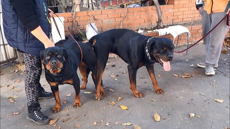 У нас пополнение Щенки Ротвейлера от Ифи и Бьюти For sale Rottweiler puppies from Ifi and Beauty