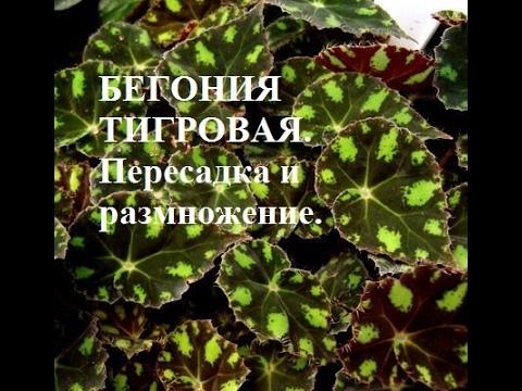 Бегония листовая тигровая Пересадка и размножение Begonia