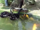 Черные лебеди кормят карпов кои! Удивительно!