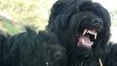Чёрная смерть Русский чёрный терьер Он же Черныш Он же Чёрная жемчужина Собака Сталина и Берии