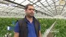 В ДНР собирают урожай огурцов. В одном из тепличных хозяйств Донецка плодоносит огурец.