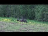 Охота на кабана . Июнь