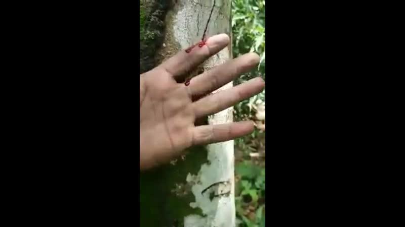 Gabriel Tree in Yemen id Crying