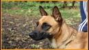 Породы собак Бельгийская овчарка